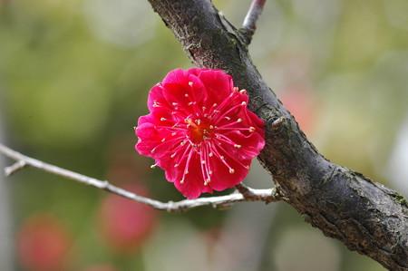 鹿児島紅(カゴシマコウ)
