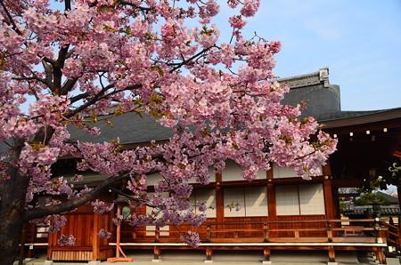 大日堂脇の河津桜