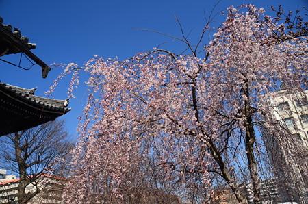 立本寺の枝垂れ桜