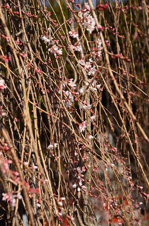 阿亀桜(オカメザクラ