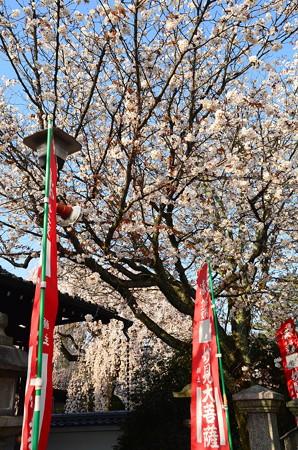 妙見宮の桜