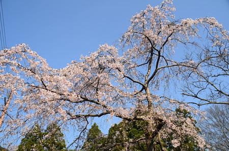 三春滝桜の子木