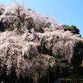 Photos: 清瀧宮の枝垂れ桜