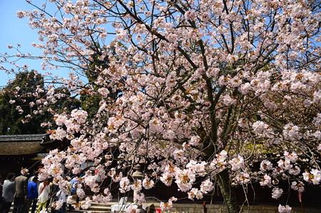 平野神社の左近の桜