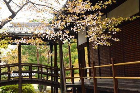 山桜咲く等持院