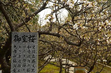 御室桜はまだ咲き始め