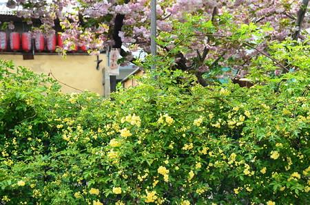 黄木香薔薇と普賢象(フゲンゾウ)
