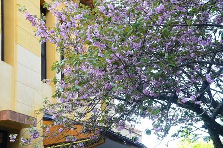 ケーブル脇脇の桜