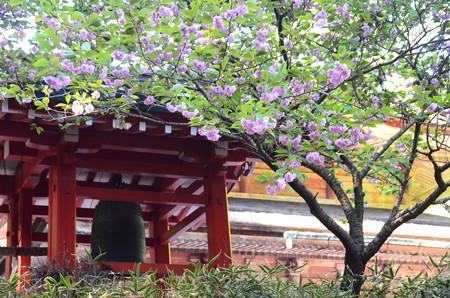 戒壇院脇の八重桜