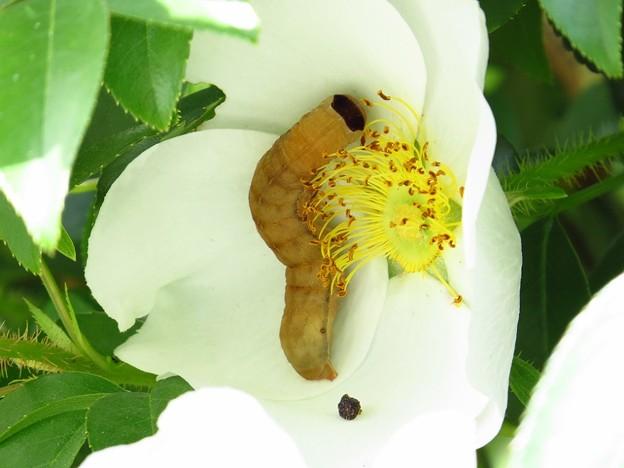 キバラモクメキリガ幼虫4236