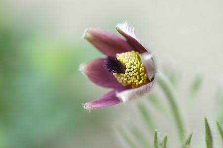 オキナグサ開花