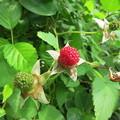 リュウキュウバライチゴ