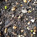 写真: チューリップ・ムスカリ(マウントフット)の芽