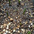 写真: ムスカリ(ピンクサンライズ)の芽