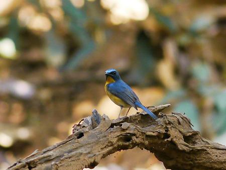 ミヤマヒメアオヒタキ(Hill Blue Flycatcher) P1060798_R