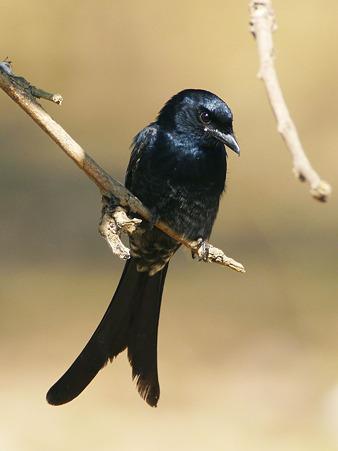 オウチュウ(Black Drongo) P1110186_R