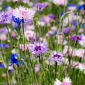 ヤグルマギク(矢車菊) Centaurea cyanus
