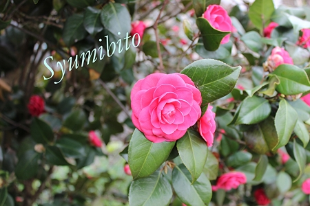 2012.4.28 椿