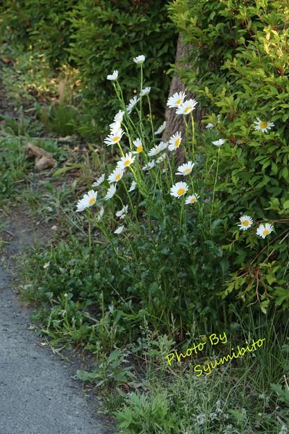 マーガレットの咲く散歩道