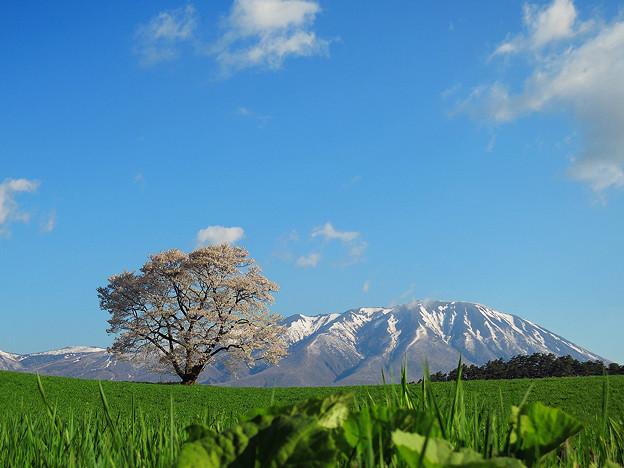 小岩井農場の一本桜[2014.5]