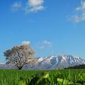 写真: 小岩井農場の一本桜[2014.5]