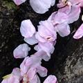 Photos: 散った桜もまた桜