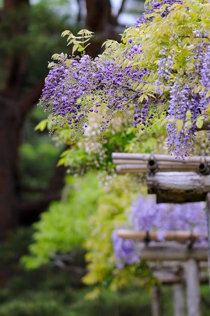 藤の開花2