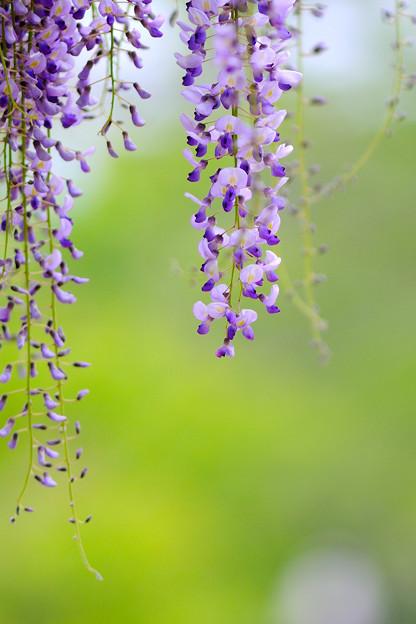 Photos: 藤の開花1