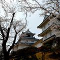 悠久山公園の桜2015年