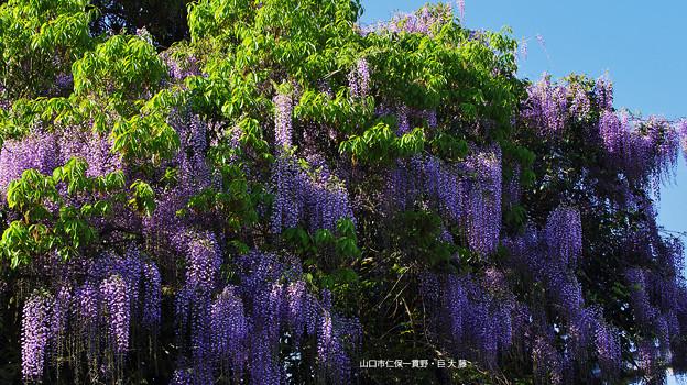 藤の花4-6