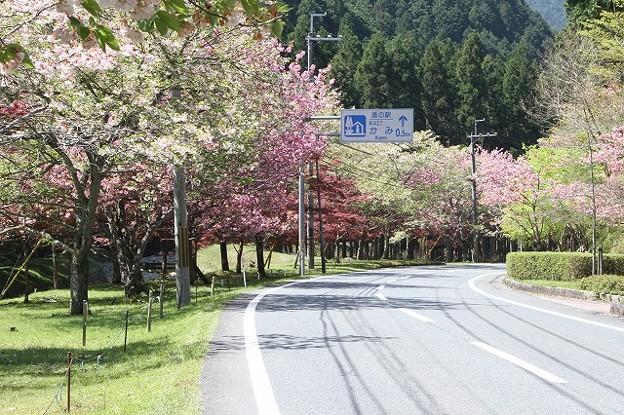 播州トンネル前の桜(2)