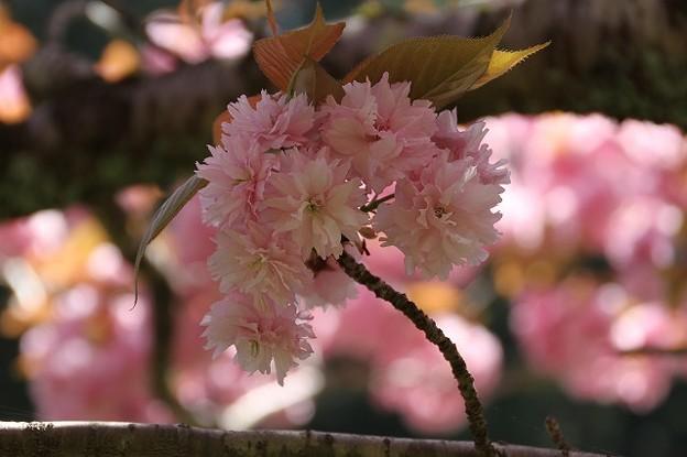 播州トンネル前の桜(6)