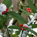 雪を被ったセンリョウ