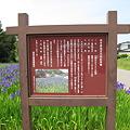 Photos: 盛岡市山岸 カキツバタ群落