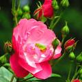 Photos: 綺麗な花には・・・キリギリス!