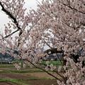 写真: 最期の春