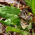 蝶たちの春