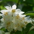 卯の花の匂う垣根