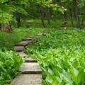 写真: 若葉と木道
