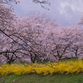 大河原ひと目千本桜-06380