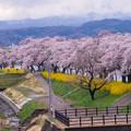 大河原ひと目千本桜-06372