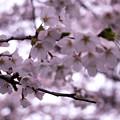 Photos: 大河原ひと目千本桜-06334