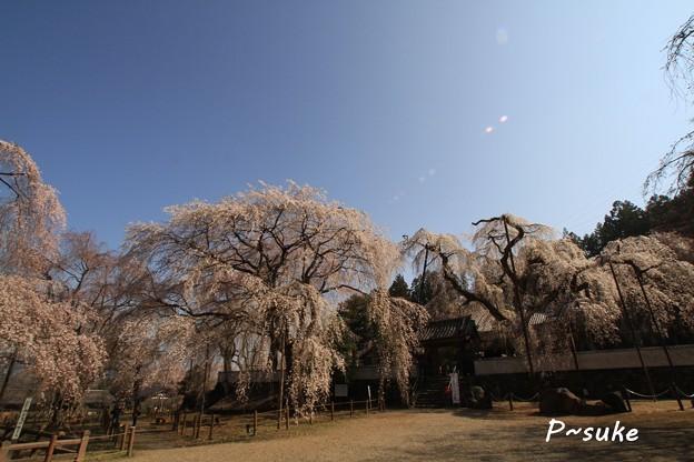 清雲寺のしだれ桜