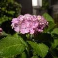 Photos: 深夜の紫陽花