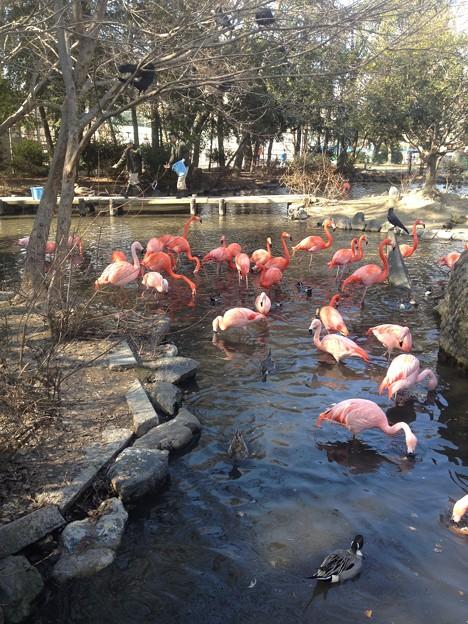 東山動植物園_51:ベニイロフラミンゴとチリーフラミンゴ