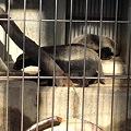 写真: 東山動植物園_10:ラーテル