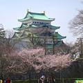 写真: 名古屋城天守閣と満開の桜(金さん・銀さんが植樹した「エドヒガン」、2015/3/21) - 5