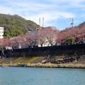 風流お花見船 2015 No - 33:木曽川沿いの桜並木、残念ながら、この日は…