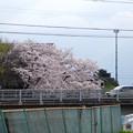 写真: 八田川沿いの桜が満開♪(2015/4/2)No - 3