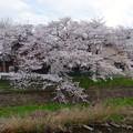 写真: 八田川沿いの桜が満開♪(2015/4/2)No - 4